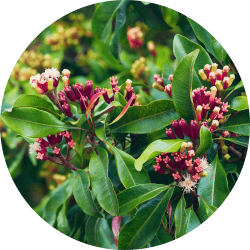 Living Libations Clove Bud Essential Oil