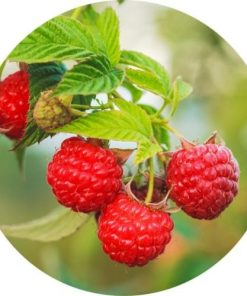 Living Libations Red Raspberry Seed Carrier Oil