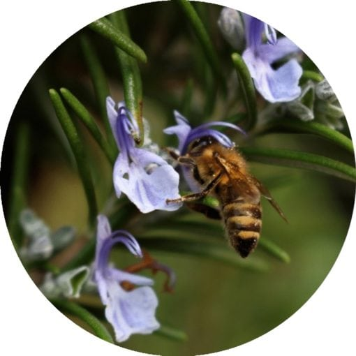 Living Libations - Rosemary Essential Oil
