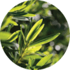 Living Libations Tea Tree Essential Oil