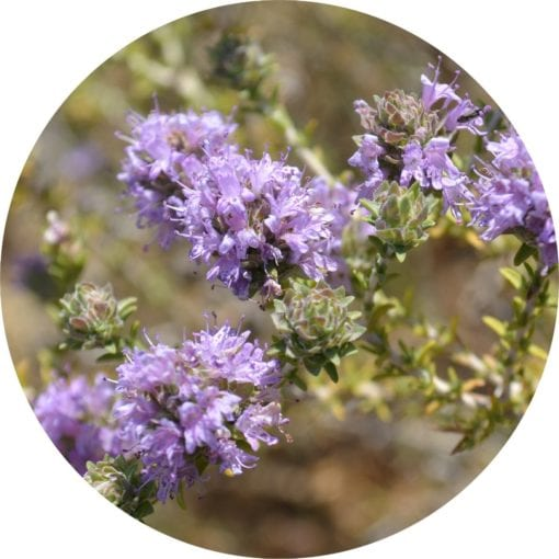 Living Libations Thyme Essential Oil