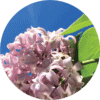 Living Libations Lilac Essential Oil