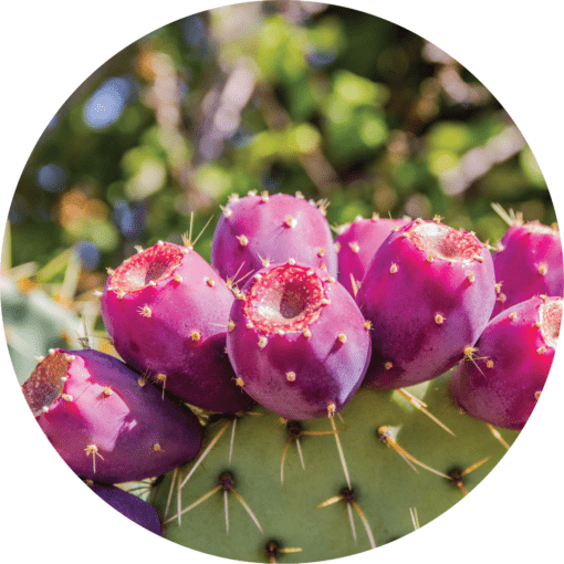 Living Libations Prickly Pear Carrier Oil