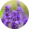 Living Libations Lavender Absolute