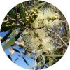 Living Libations - Niaouli Essential Oil Round