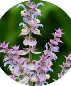 living libations Clary sage absolute